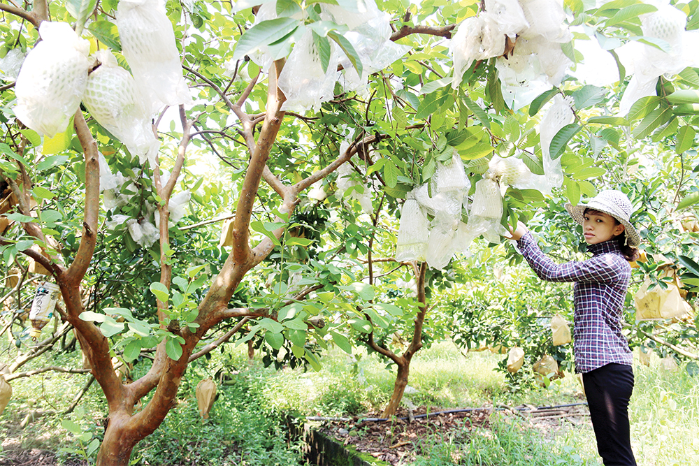 Liên kết sản xuất theo chuỗi để phát triển nông nghiệp bền vững